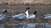 Swedish Ducks Walking On Ice.