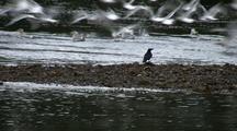 Raven & Gulls Taking Flight