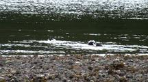 Barrow's Goldeneye Ducks
