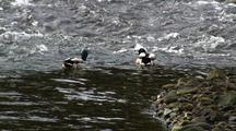 Mallard Ducks Feeding In A Fast Stream.