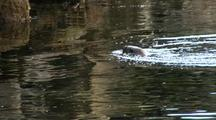 A River Otter Feeding In A Stream Estuary