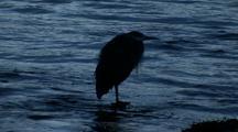 Sunrise  (Great Blue Heron)