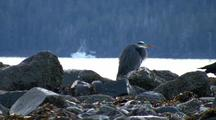 A Great Blue Heron With A Fishing Boat In Background.