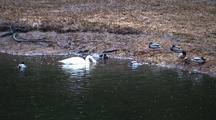 Trumpeter Swan Feeding With Mallard Ducks.