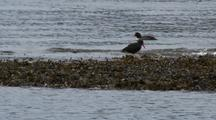 Oystercatchers Feed On Shore