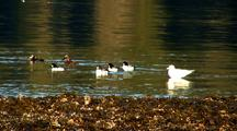 Sea Birds: Barrow's Golden Eye, Mallards, And Gulls.