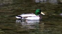 Sea Birds: Mallard Duck In A Clear Stream.