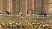 Sea Birds: Oystercatchers And Ravens
