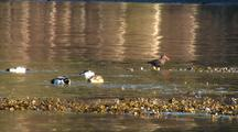 Sea Birds: Oystercatchers And Ducks