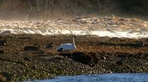 Trumpeter Swan Standing In A Cold, Foggy Estuary.
