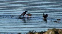Sea Birds: Oystercatchers And Ravens
