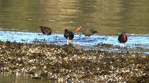 Sea Birds: Oystercatchers