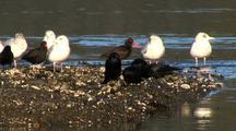 Sea Birds: Oystercatchers, Ravens, And Gulls