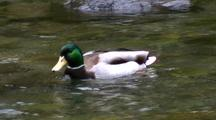Mallard Duck In A Clear Stream