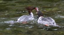 Common Mergansers Feeding On Salmon Smolts