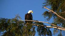 Bald Eagle Royalty Free Stock Footage