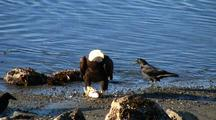 Bald Eagles And Ravens Feeding On A Fresh Kill