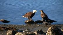 Bald Eagles And Ravens Feeding On A Fresh Winter Kill