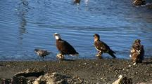 Bald Eagles And Ravens Feeding On A Fresh Kill