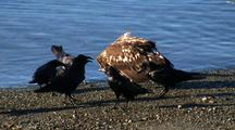 Eagles, Ravens, And Gulls Feeding On A Fresh Kill.