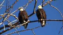 A Mating Pair Of Bald Eagles