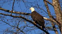 A Mature Bald Eagle Sitting In A Alder Tree.