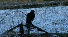 A Raven Braves The Cold.