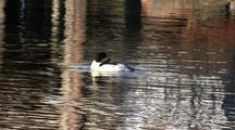 Common Merganser (Sea Duck) Swimming Around Dock Piling.