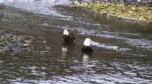 A Pair Of Bald Eagles Standing In A Stream