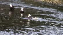 Bald Eagles (One Is Taking A Swim)