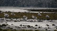 Winter Scene: Sea Birds, Gulls, Ducks And Snow.
