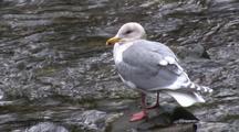 Fat Gull Along A Stream.
