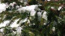 Snow Gathers On Spruce Branches
