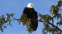 Winter Scene: Snow &  Bald Eagle Drying Wings