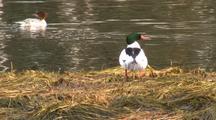Common Merganser Ducks