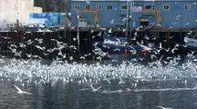 Sea Birds Feeding Near A Fish Processing Plant