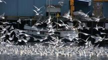 Gulls & Sea Birds Feeding Near A Fish Processing Plant