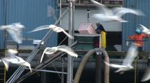 Gulls & Sea Birds Feeding Near A Fish Processing Plant. Fish Being Unloaded.