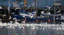 Sea Birds Feeding Near A Fish Processing Plant. Fish Being Unloaded.