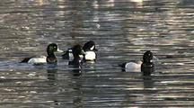 Sea Birds (Barrow's Golden Eye) And Lesser Scaups