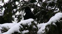 A Raven Enjoys The Snow