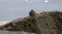 Sparrow Feeds On A Barnacle Covered Rock.