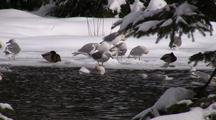 Winter Scene: Sea Birds & Ducks On Ice & Snow