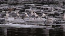 Winter Scene: Sea Birds & Ducks On Drifting Ice & Snow