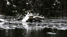 Winter Scene: Gulls & Ducks On Drifting Ice & Snow