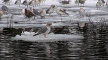 Winter Scene:Birds On Drifting Ice & Snow