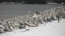 Winter Scene: Sea Birds Brave A Winter Wind.