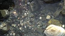 Tide Pool: Crabs, Limpets, Snails, And Others.