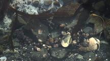 Sea Life In A Tide Pool: Crabs, Limpets, Snails, And Others.