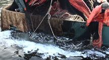 Commercial Fishing: Seine Nets & Herring